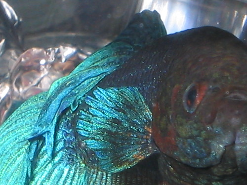 Two Parts To Treating Fin Rot Fish Care