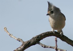 Tufted Titmouse (Mike Sipos) Tags: titmouse tufted tuftedtitmouse baeolophusbicolor