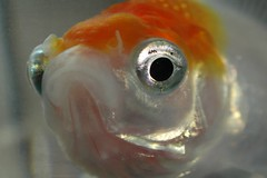 Sebastian (drewnoakes) Tags: orange pet fish macro eye scale water face closeup swim aqua saveme tank goldfish scales carp float sebastien scaley