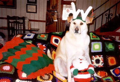 yellow labrador retriever - Christmas