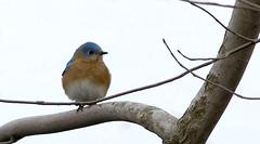 Blue Afternoon (martytdx) Tags: male birds topv111 ilovenature lifelist pa bluebird thrush easternbluebird sialiasialis valleyforgenationalpark 77points