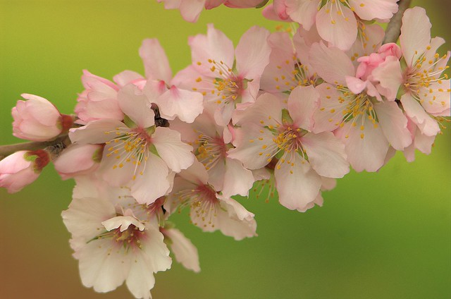 Floración de Almendro