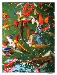 Love Fishes (Araleya) Tags: life red pet fish art love animal yellow composition wonderful catchycolors thailand interestingness joy group happiness valentine explore koi carp population fishes crowded artisitc fishpond lively pakchong beautfiul araleya interestingness58 i500 bluelist ปากช่อง nakhonratchasima ปลา chokchaifarm lplove bluecarps fishpopulation naturalclolors ปลาคาร์ฟ japanesefeel