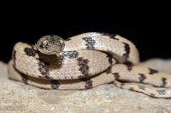 Telescopus fallax -    (shanicy) Tags: snake reptiles  israelnature  cateyedsnake