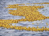 The rubber ducks are coming! (EvelienNL) Tags: holland water netherlands dutch yellow race toy duck ducks floating rubber plastic ducky rubberduck derby duckies rubberducks nijkerk badeend badeendje rubberduckrace badeendjes