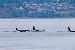 Transient orcas T065B, T037, and T124E (5/21/15) (wanderinggrrl) Tags: year2 week52