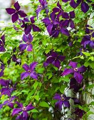 clematis 'Polish Spirit' (wnkremer1) Tags: flowers garden vines clematis