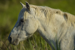 Cavallo bianco della Camargue - Camargue (cheval) (Xrupex - www.wildernessphoto.net) Tags: horse cavallo camargue nikond4s cavallobiancodellacamargue