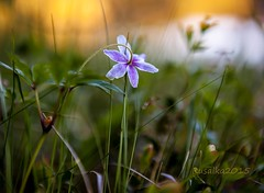 Forest beauty (Matilda Diamant) Tags: summer flower nature beauty norway juni night forest flora seasons norwegian nordic rusalka