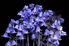 Bluebells in the Park (pallab seth) Tags: park wild england flower macro london nature garden spring interesting bluebell signofspring springgarden bestphotos hyacinthoidesnonscripta samsungnxseries samsungnx2000 samsung50200mmf4056oisifunctioniiilens