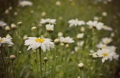 daisyfield (...Gail...) Tags: summer daisies daisy fieldofdaisies