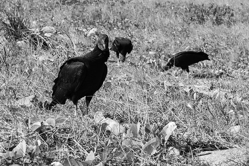 Vultures meeting