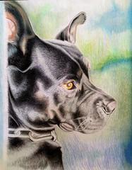 Kimbo, pitbull, family pet, freehand drawing, colored pencil (Cristo Soto) Tags: family portrait dog pet drawing pitbull blackdog freehand coloredpencil kimbo