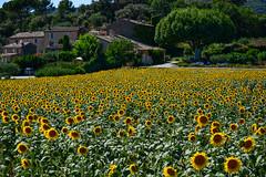 Sunny times (sarah_presh) Tags: flowers holiday france field yellow july sunflowers provence lourmarin nikond7100