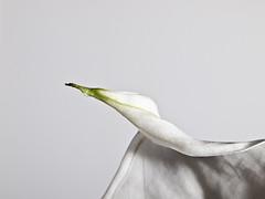 Detalle de flor de spathiphyllum. (cachanico) Tags: flowers flores flower fleur fleurs 35mm flash flor olympus fiori fiore teruel e30 nissin spathiphyllum aragn zd35 difusor yongnuo di466 nissindi466 rf602 cachanico yognuorf602