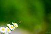 Approach (saeah_lee) Tags: flowers mountain flower macro green daisies bug insect outside outdoor bees insects korea bugs depthoffield bee daisy wildflowers approach southkorea wildflower fleabane chiaksan wonju
