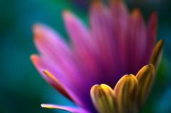 Stay open (James_D_Images) Tags: flower green closeup purple bokeh osteospermum canon500dcloseuplens