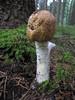Agaricus augustus (Dochac - Meteorologist) Tags: wild nature mushrooms fungi funghi augustus agaricus boschi agaricusaugustus