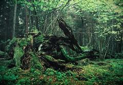 Emerald Dragon sleeps (Serg Autumnoff) Tags: tree film forest 35mm landscape moss twilight dragon outdoor dusk fallentree nightfall primevalforest rottentree беловежскаяпуща białowieżaforest totemofthewood