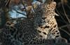 persian leopard Beekse Bergen JN6A6121 (j.a.kok) Tags: panter panther perzischepanter persianleopard pantherapardussaxicolor predator roofdier zoogdier mammal kat cat azie asia iran beeksebergen