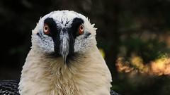 Eye Contact (Nephentes Phinena ☮) Tags: nikond300s vogelparkwalsrode bartgeier beardedvulture bird birds animal