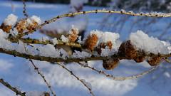 Gruß vom Winter / Greetings from winter (rudi_valtiner) Tags: lärche larch larixlarix zapfen cone lärchenzapfen larchcone flatz winter niederösterreich loweraustria österreich austria autriche eis ice schnee snow