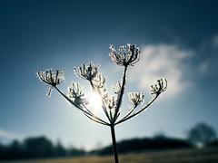 All the best and good light in the year 2017, my dear creative flickr friends! (Petr Horak) Tags: novýknín středočeskýkraj czechia cze flower weed plant nature closeup manual nokton winter frost