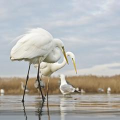Great Egrets (frankps) Tags: greategrets egretthegre greategret pusztaszer hungary birds birdphotography 200mm