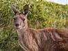 Känguru Portrait (bayernphoto) Tags: kangaroo känguru australien roo western australia westaustralien direkter blick close up nah nahaufnahme freundlich fell augen ohren bush natur animal tier beuteltier