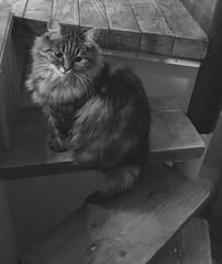 Qu'il est beau ce chat (karine_avec_1_k) Tags: black white blanc noir beau beautiful cat chat