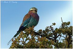 The Lilac Beauty! (MAC's Wild Pixels) Tags: thelilacbeauty lilacbreastedroller roller colourfulroller wildbird ornithology beautifulbird colourfulbird wildafrica africanwildlife birdsofeastafrica birdwatcher birdlife bird birdperfect maasaimaragamereserve kenya outdoors birder macswildpixels naturethroughthelens ngc coth5
