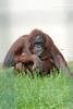 Borneo-Orang-Utan im Ouwehands Dierenpark (Ulli J.) Tags: zoo niederlande nederland netherlands paysbas nederlandene utrecht rhenen ouwehandsdierenpark borneanorangutan borneoorangutan orangoutandebornéo borneoseorangoetan borneoorangutang