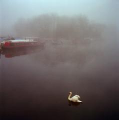 Swan in the mist. (amelia.seddon) Tags: fog river kodakektar film 120film medium format mist london walthamstow clapton riverlea trees nature morning winter melancholy eerie tlr swan boat rolleiflex