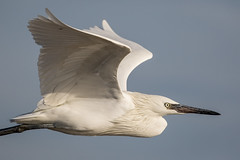 Chic (gseloff) Tags: whitemorphreddishegret bird flight bif wildlife bolivarflatsshorebirdsanctuary houstonaudubonsociety galvestoncounty texas gseloff