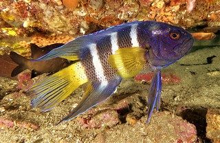 Eastern Blue Devil Fish - 24th December 2016.