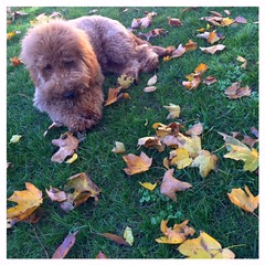 Molly Dee's Archie enjoying the fall season!