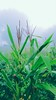 Maize is back (ngr.amit) Tags: maize corn maíz after mahiz grains green plant india