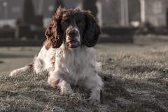 ZigZag (Flemming Andersen) Tags: animal cocker ft outdoor spaniel zigzag dog hund landskabe nature jelling regionsyddanmark denmark dk portrait