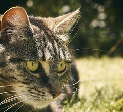 Stalking (M J Adamson) Tags: sweetpea cats pets nz newzealand outdoor outdoors