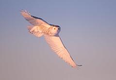 Snowy-Owl (Corey Hayes) Tags: snowy raptor flyby bird bif evening light canada owl