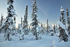 Boreal (Lee Petersen) Tags: winter alaska fairbanks spruce trees boreal forest snow sky light blue