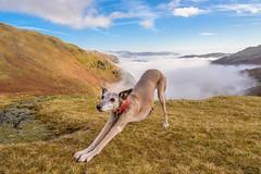 Stretch!!! (Sarah-86) Tags: whippet dog pet animal england walk wainwright lakedistrict cumbria wrynosepass hill inversion weather cloud mist littledoglaughedstories