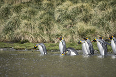 King penguins, fortuna bay, south georgia (HeidiSevestre) Tags: fortuna bay south georgia penguins wildlife antarctica swimming river group nature landscape