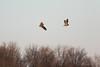 Short-eared Owls (Asio flammeus) with Rodent (Susan Jarnagin) Tags: asioflammeus bird mercercounty mercermeadowspolefarm nj owl shortearedowl