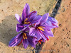 Saffron flowers (Alex - Born To Be Free) Tags: saffronflowers saffron flowers zafferano closeup closeups flower macro stilllife violet pistil bulbs