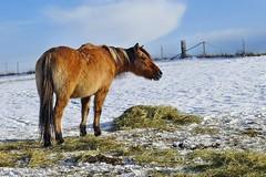 Pferd im Schnee (mama knipst!) Tags: pferd horse cheval winter schnee snow nettersheim eifel