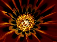 Gazania Macro - C95-5-20-12DSCN3722_3497 (Cap001 - Dan) Tags: platinumheartaward gazaniamacro flower