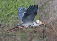 Flight Fight (PeterBrannon) Tags: ardeaherodias bird circlebbarreserve florida greatblueheron heron lakeland nature wildlife birdinflight fight snake