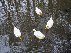Circle the Pekings (Gabriel FW Koch) Tags: duck white whiteduck pekingduck outside water reflection sun sunlight pond lake nikon p900