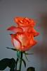 DSC_4269 (PeaTJay) Tags: nikond750 reading lowerearley berkshire macro micro closeups gardens indoors nature flora fauna plants flowers rose roses rosebuds